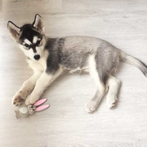 nalle maya husky puppy