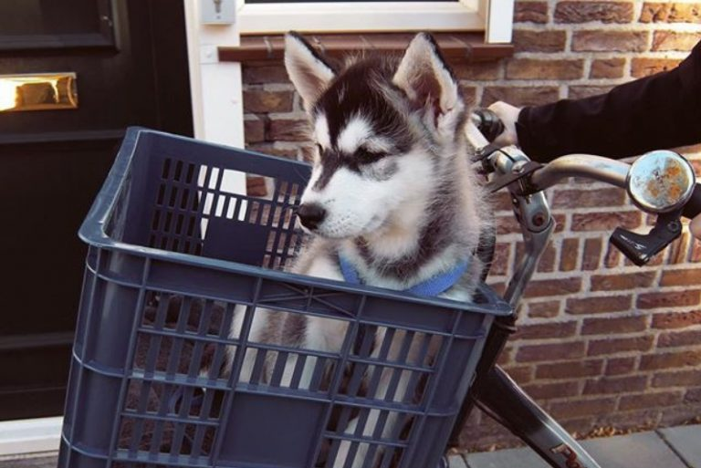 the hardest thing about raising a husky, husky malamute crossbreed puppy on bike.